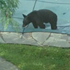 Bear on safety pool cover