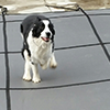 Dog on safety pool cover